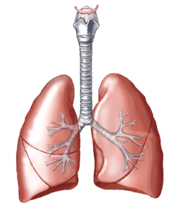 lungs-2ivfnn4